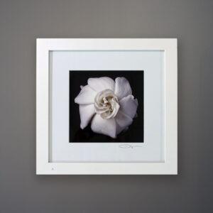 debi-shapiro-photography-gardenia-2
