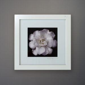 debi-shapiro-photography-gardenia-3